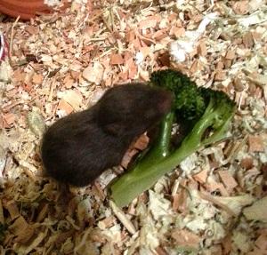 Kaksiviikkoinen maistelee jo keitettyä parsakaalia innoissaan, vaikka silmät ovat edelleen kiinni.