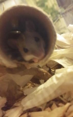 Siinä se nyt on, pygmipoikanen. Putki ei todellakaan ole mikään vessapaperirulla, vaan halkaisijaltaan reilut pari senttiä.